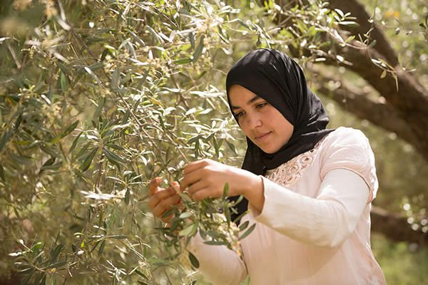 olive oil picker